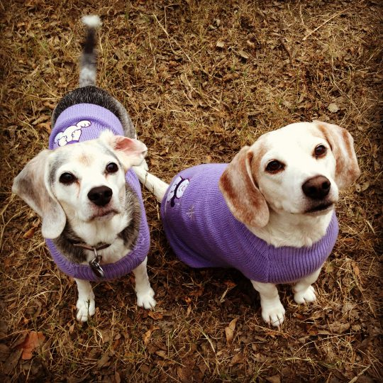 beagles in sweaters -cc- Stephanie via Flickr