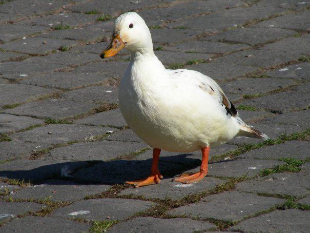 duck -cc- raayab via Flickr