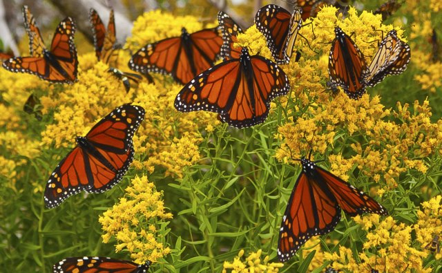 The Butterflies Have Arrived! See Thousands of Monarchs in Pacific Grove