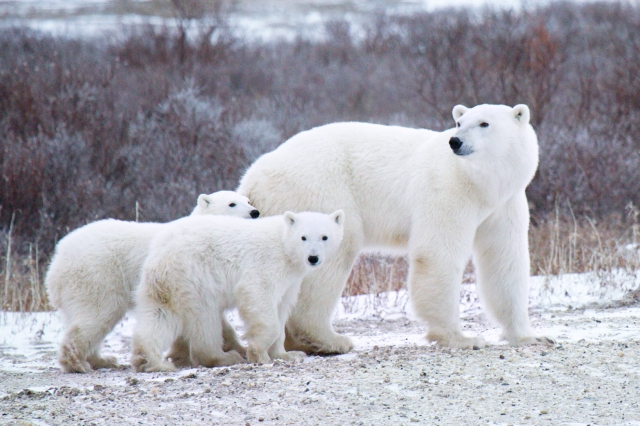 These Live Cams of Polar Bear Cubs Will Brrrring a Smile to Your Face